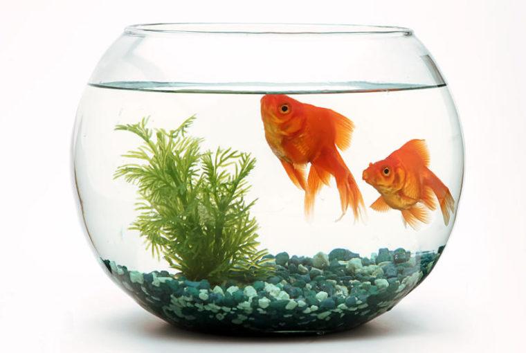 pesce rosso non mangia